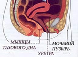 Мышцы таз дна